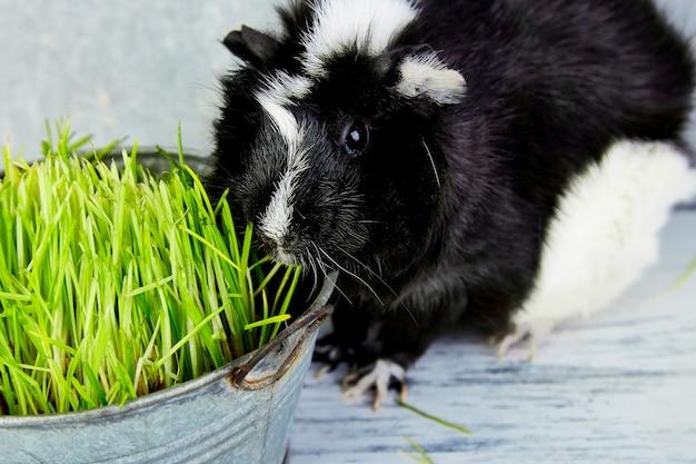 Cochon d'inde blacck près de vase avec de l'herbe fraîche. studio photo.