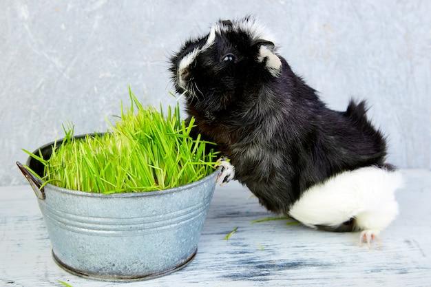 Cochon d'inde blacck près de vase avec de l'herbe fraîche.