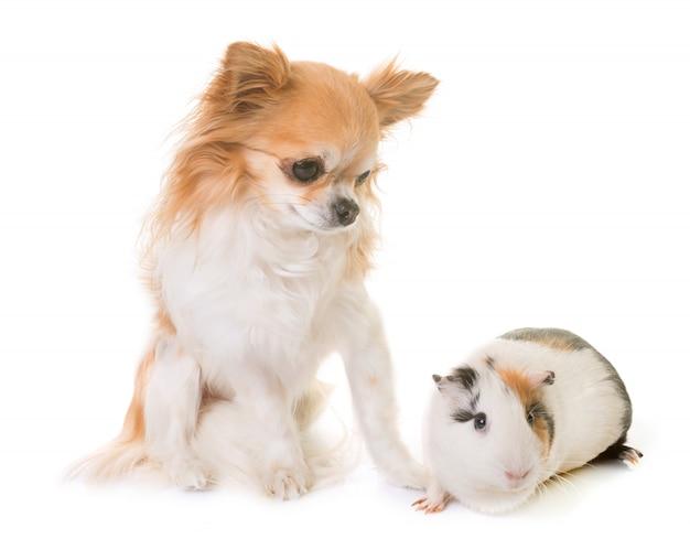 Cochon d'inde et chihuahua