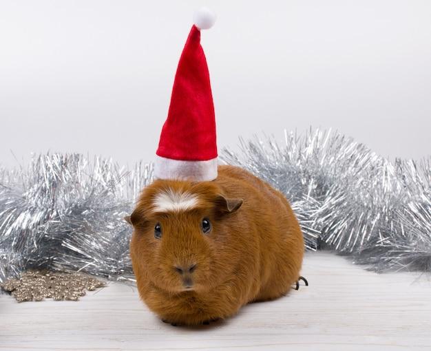 Cochon d'inde coiffé d'un bonnet de noel parmi les décorations de noël