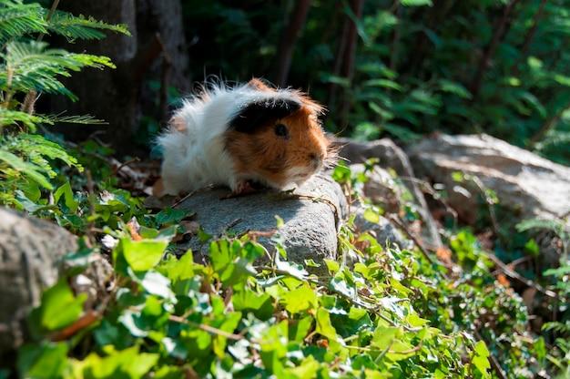 Un cochon d'inde dans un bois