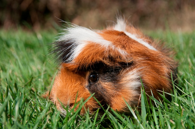 Un cochon d'inde dans un champ