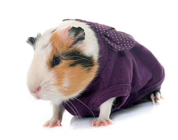 Cochon d'inde habillé