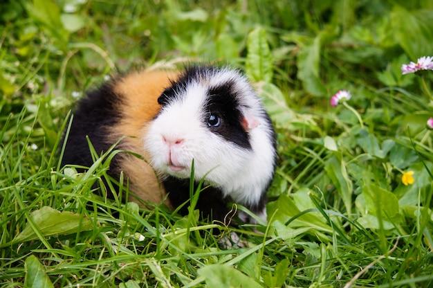 Cochon d'inde en plein air