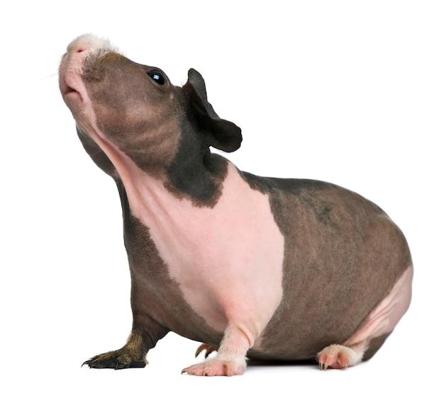 Cochon d'inde sans poils debout