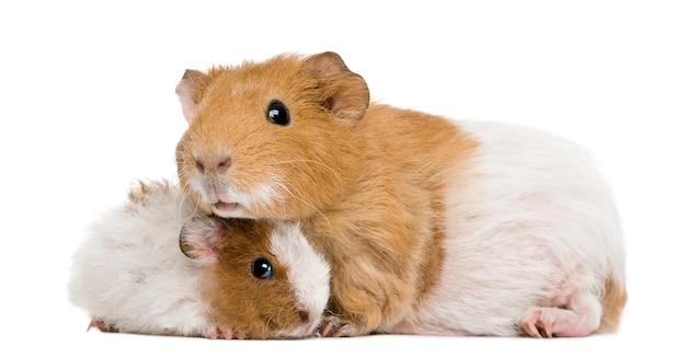Cochon d'inde et son bébé devant fond blanc