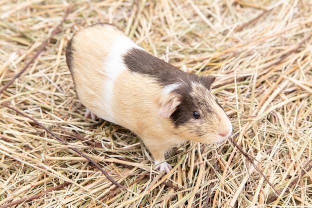 Cochon d'inde tricolore gratuit sur paille