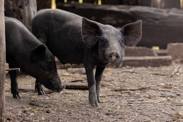 Cochon noir élevé dans une étable avec mise au point sélective