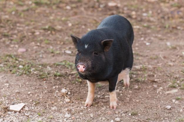 Cochon noir sauvage marchant sur le pré