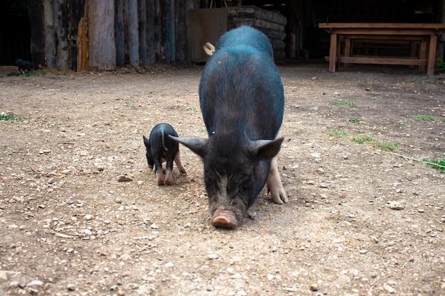 Cochon et porcelet