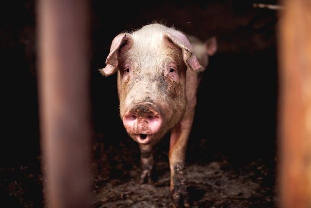 Cochon à la porcherie marche.