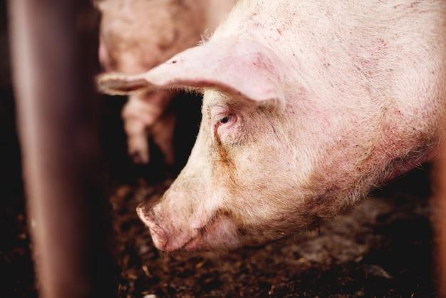 Cochon à porcherie.