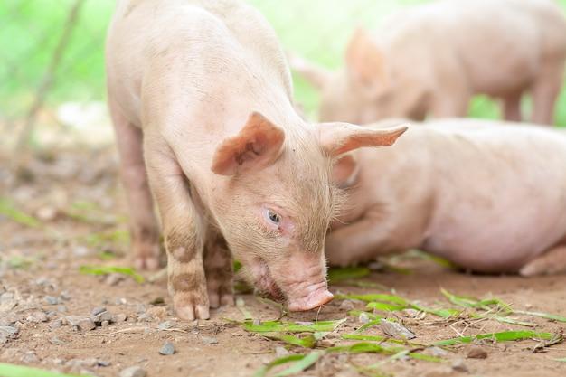 Le cochon vient de naître dans une ferme.