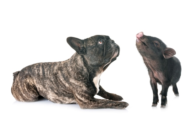 Cochon vietnamien et bouledogue français