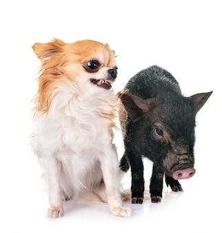 Cochon vietnamien et chihuahua