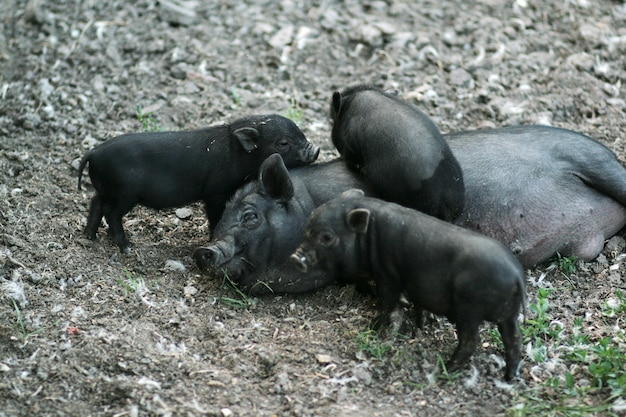Cochon vietnamien à ventre noir. porcs herbivores