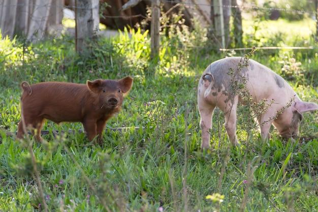 Cochons à la ferme