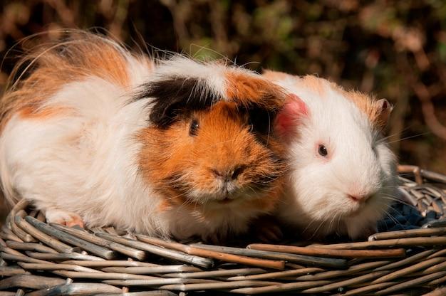 Cochons d'inde dans un panier