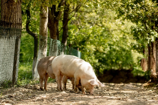 Les cochons marchent sur la route à la campagne. paysage rural