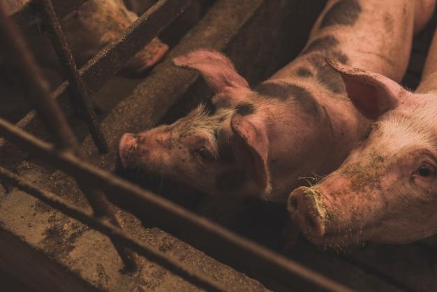 Cochons mignons dans l'enceinte