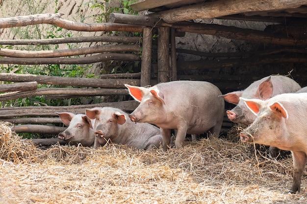 Cochons roses à la ferme. porcs à la ferme. industrie de la viande. l'élevage porcin pour répondre à la demande croissante de viande