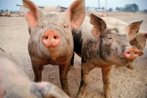 Cochons sales à la ferme