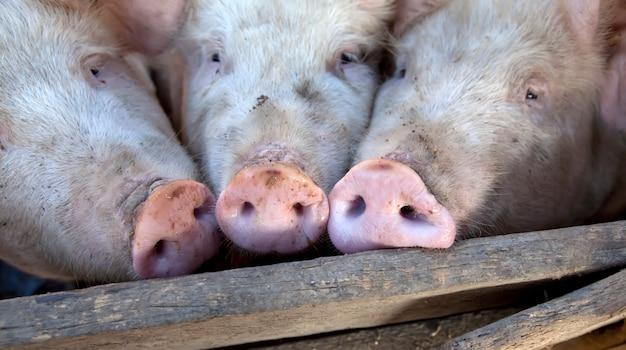 Cochons de village ukrainiens.