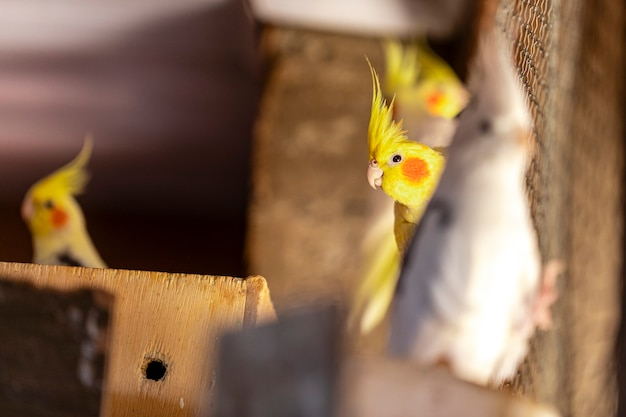 Le cockatiel, également connu sous le nom d'oiseau weiro, ou quarrion