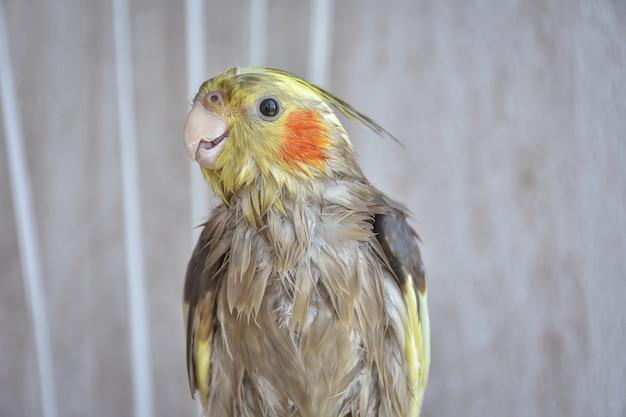 Cockatiel humide après la baignade