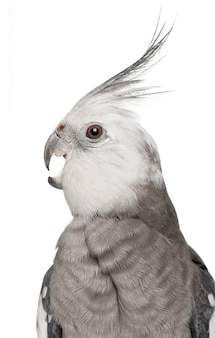 Cockatiel mâle, nymphicus hollandicus, in front of white background