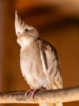 Le cockatiel (nymphicus hollandicus), également connu sous le nom d'oiseau weiro, ou quarrion, est un oiseau qui fait partie de sa propre branche de la famille des cacatoès endémique d'australie.