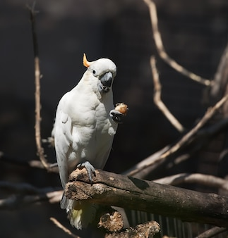 Cockatoo blanc