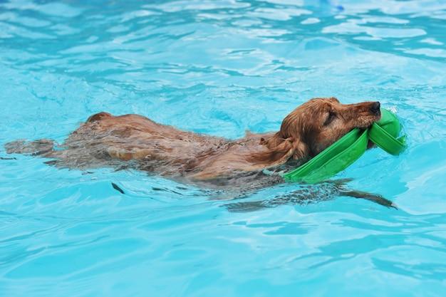 Cocker de natation
