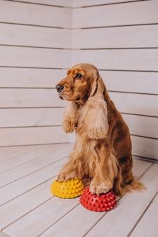 Cocker Spaniel Joue à Des Jeux à La Maison Photo gratuit