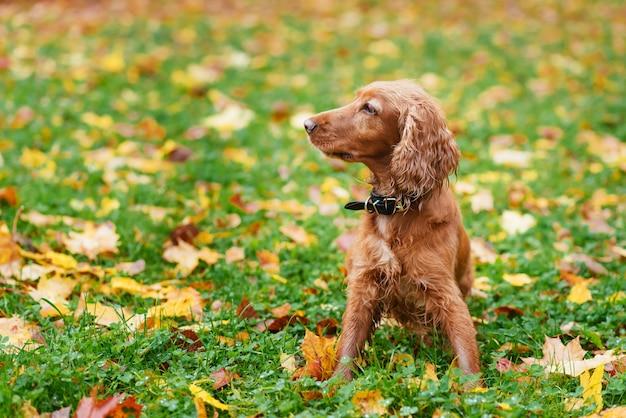 Cocker spaniel promenades dans le parc en automne