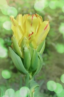 Cocktail de fruits tulipe coloré jaune vif. prairie de fleurs de tulipes