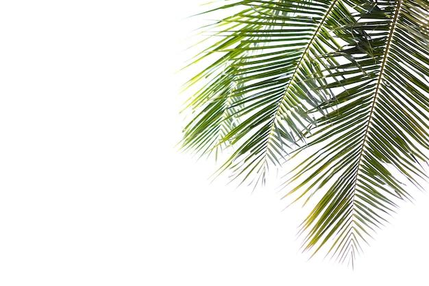 Coco vert belles feuilles isolés sur fond blanc