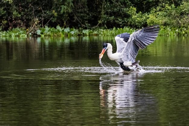 Cocoi heron attrape du poisson dans l'eau.