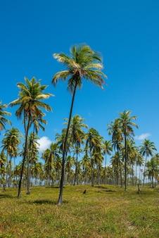 Coconut grove forte beach près de salvador bahia brésil paysage tropical
