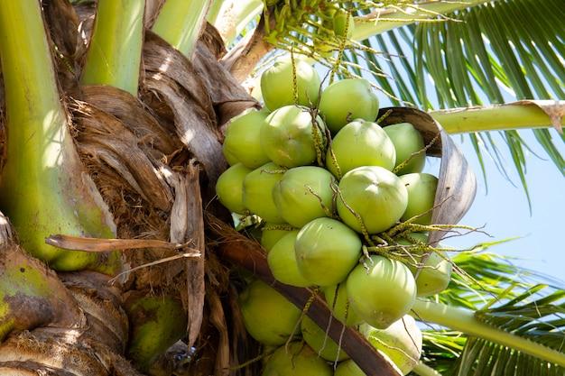 Cocotier aux fruits de coco