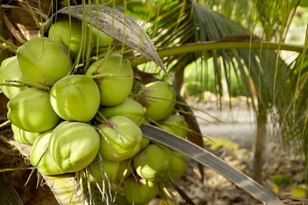 Cocotier aux fruits de la noix de coco.
