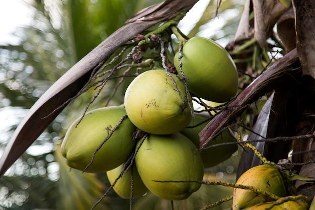 Cocotier dans le jardin, cocos nucifera