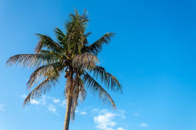 Cocotier avec fond de beau ciel bleu.