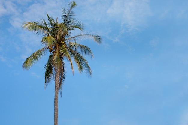 Cocotier avec fond de ciel bleu.