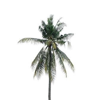 Cocotier isolé sur fond blanc