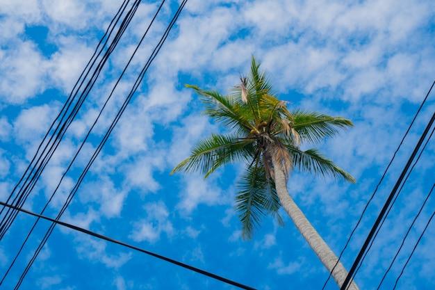 Cocotier avec des noix de coco sur fond de ciel bleu