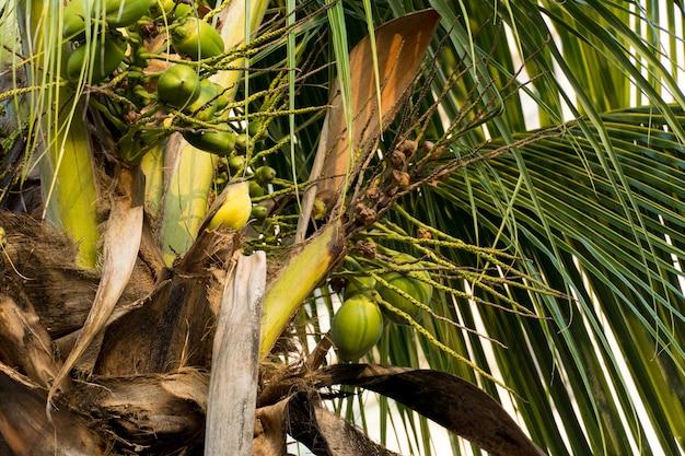 Cocotier plein de noix de coco par une journée ensoleillée. parc au brésil.
