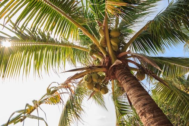 Cocotier sous le ciel bleu avec la lumière du soleil