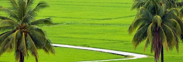 Cocotiers sur champ de riz blanc