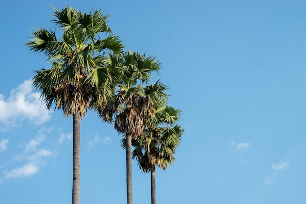 Les cocotiers et les palmiers poussent dans le ciel bleu.